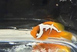 世界最贵的小丑鱼在中国诞生