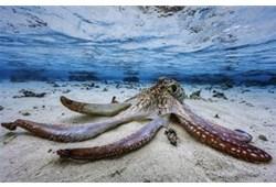 摄影师印度洋拍章鱼曼舞 悠游慢泳姿态翩然