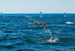 飞翔的蝠鲼:优雅而神秘的大鱼