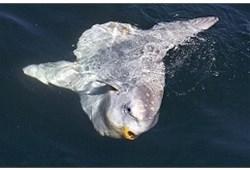 摄影师拍罕见翻车鲀水面觅食照:主要捕食水母