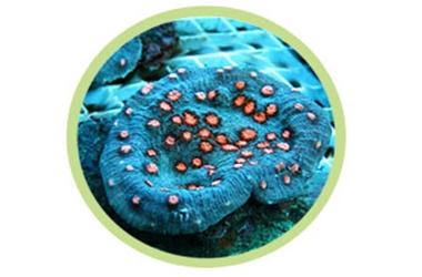 绿眼杯珊瑚
